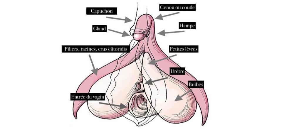 Schéma du clitoris