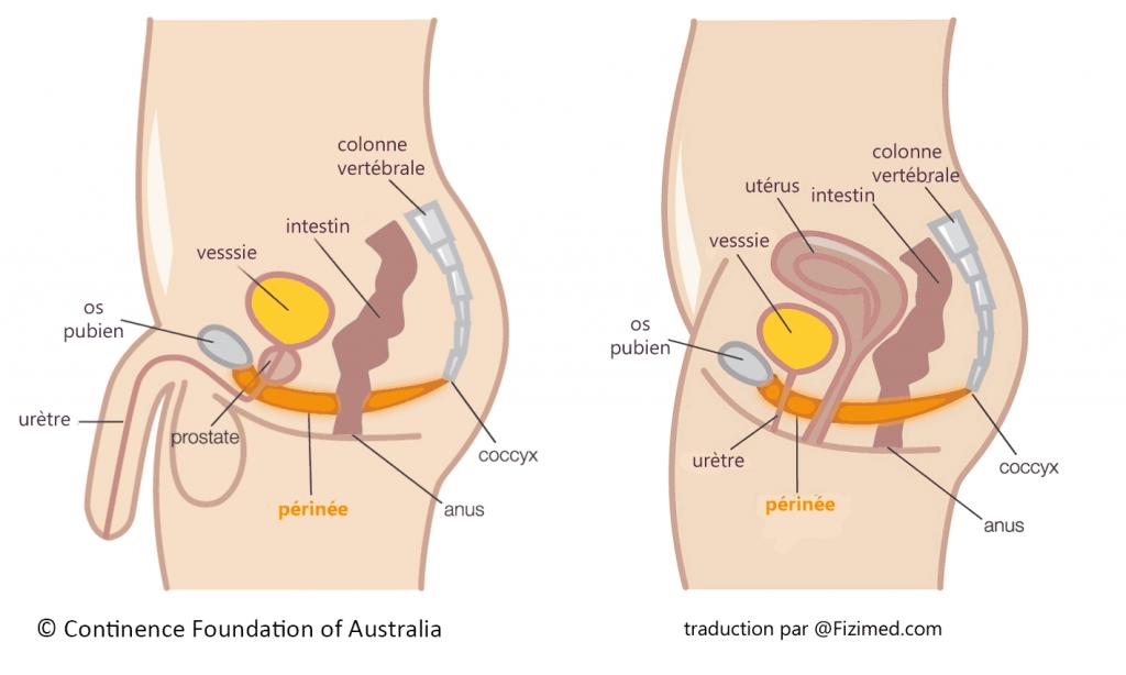 schéma anus.png